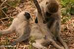 Vervet Monkeys involved in monkey business