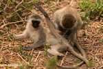 Vervet Monkeys getting friendly