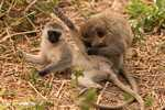 Vervet Monkeys (Chlorocebus pygerythrus) getting frisky