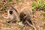 Vervet Monkeys doing monkey business -- tz_2460