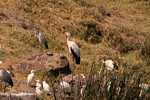 Gray heron, cattle egret, sacred ibis, yellow billed stork -- tz_2487