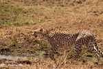 Cheetah (Acinonyx jubatus) -- tz_2533
