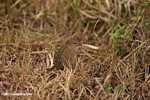 Striped rodent -- tz_2562