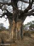 Baobab tree damaged by elephants