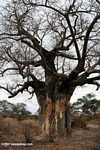 Baobab tree damaged by elephants -- tz_xt_3502