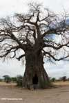 Giant African baobab