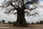 Giant African baobab -- tz_xt_3504