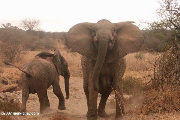 Approaching elephant