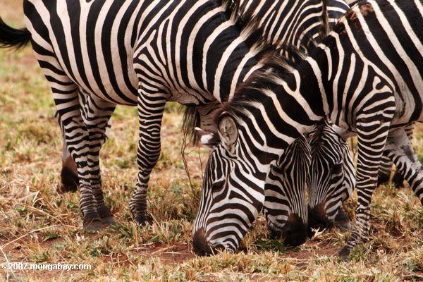 Plains zebra (Equus quagga burchellii)