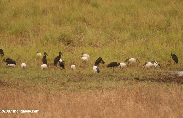 Sacred ibis and Abdim's Storks -- tz_1423