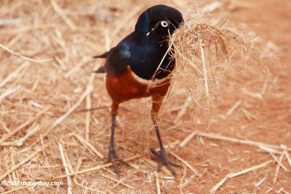 Superb starling (Lamprotornis superbus) collecting nest-building materials
