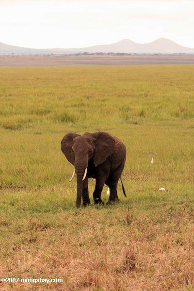 African elephant -- tz_1459