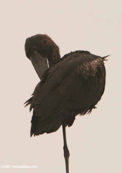 Abdim's Stork (Ciconia abdimii) -- tz_1479