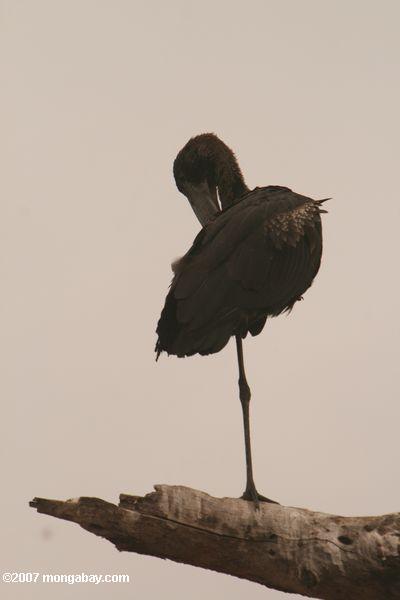 Abdim's Stork (Ciconia abdimii) -- tz_1482