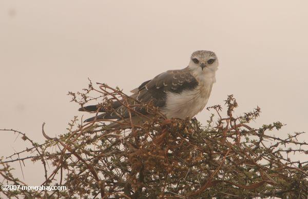 African Pygmy-falcon (Polihierax semitorquatus)