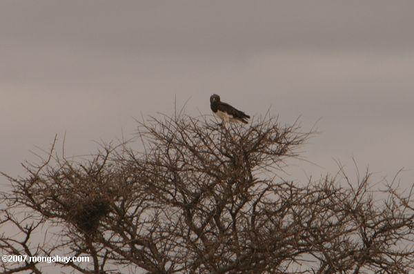 Black-chested Snake-eagle (Circaetus pectoralis) -- tz_1532