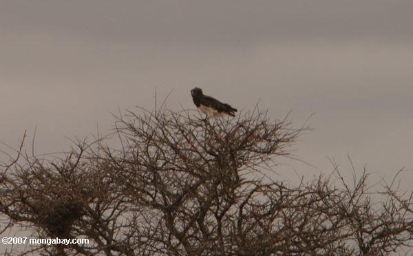 Black-chested Snake-eagle (Circaetus pectoralis) -- tz_1533