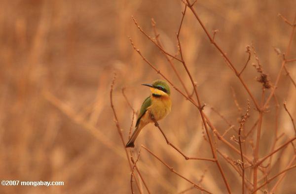 Little Bee-eater {Merops pusillus} -- tz_1574