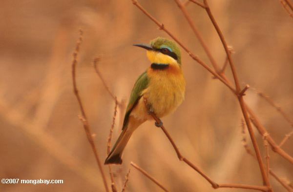 Little Bee-eater {Merops pusillus}