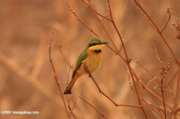 Little Bee-eater {Merops pusillus} -- tz_1577