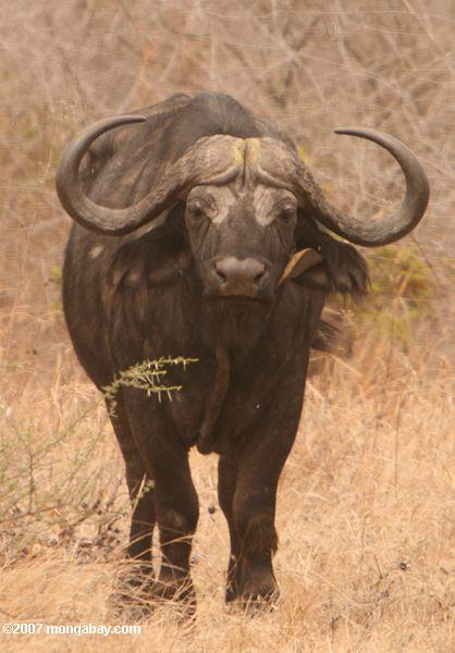 Cape buffalo with a Red-billed Oxpecker