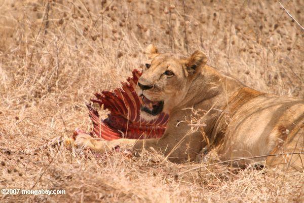 Lioness with zebra kill -- tz_1630