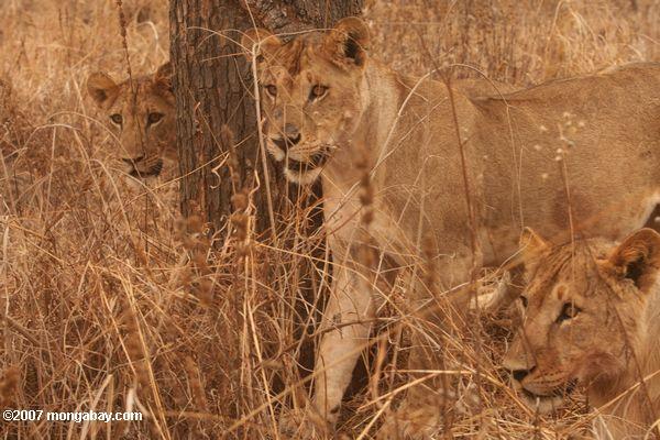 Lion cubs -- tz_1661