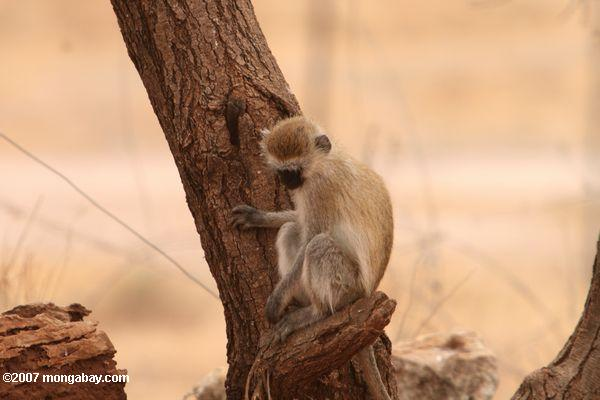 Vervet Monkey (Chlorocebus pygerythrus) -- tz_1711