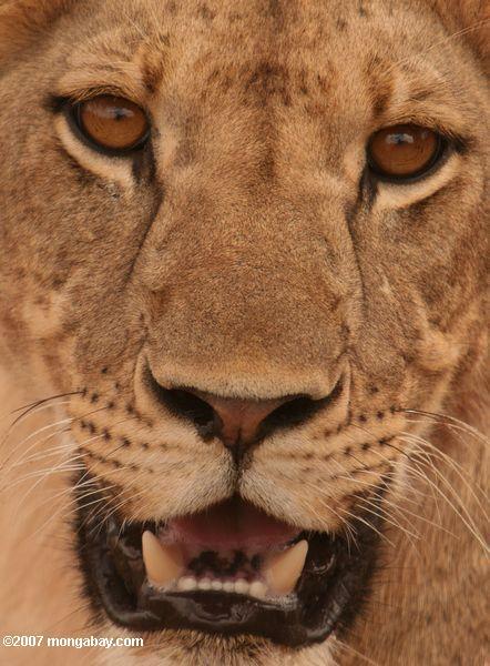 Young female lion -- tz_1726a