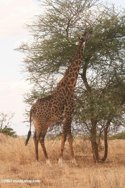 Masai or Kilimanjaro Giraffe (Giraffa camelopardalis tippelskirchi) -- tz_1757
