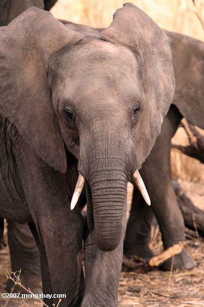 Elephants -- tz_1782