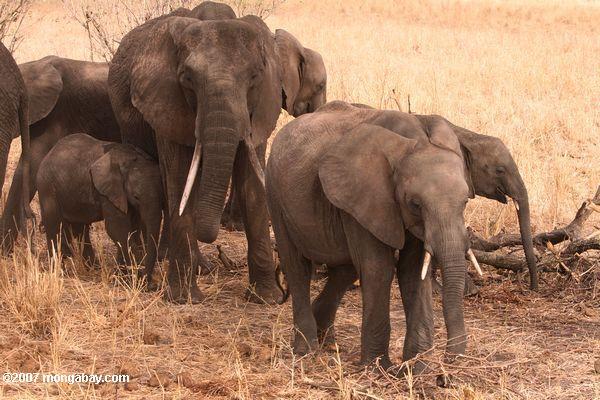 Elephants -- tz_1783