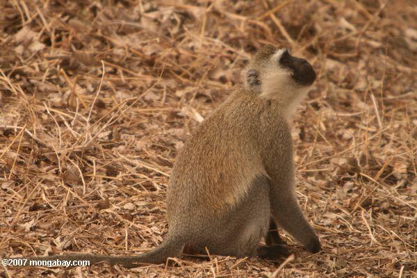 Vervet monkey -- tz_1796