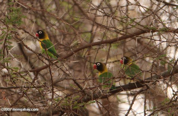 Blue Masked Lovebirds (Agapornis personata personata) in the wild [not Fischer's Lovebirds (Agapornis personata fischeri)]