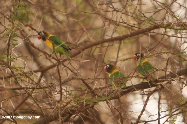 Blue Masked Lovebirds (Agapornis personata personata) in the wild -- tz_1819