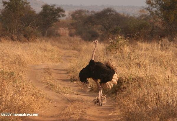 Male ostrich defending chicks -- tz_1859
