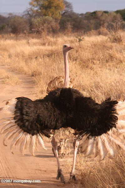 Male ostrich defending chicks