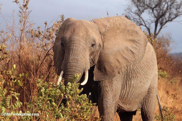 Elephant -- tz_1900