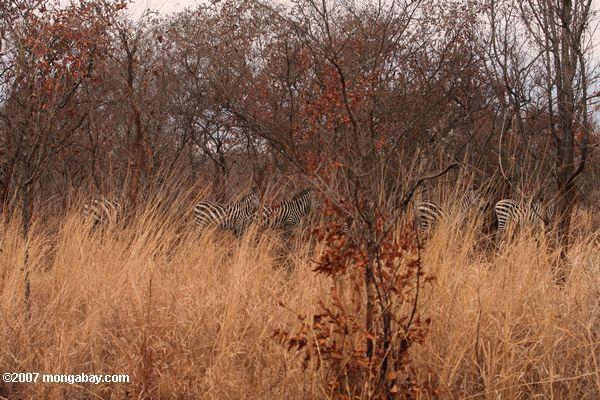 Zebra among scrub trees -- tz_1943