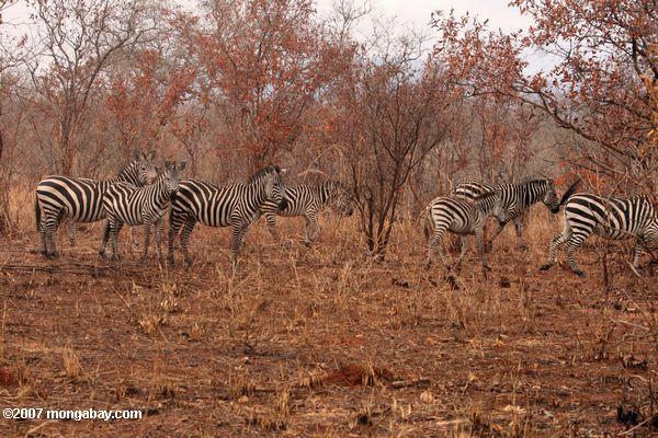 Zebra among scrub trees -- tz_1945
