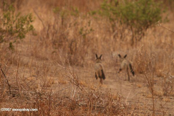 Bat-eared Fox (Otocyon megalotis virgatus ) -- tz_1952