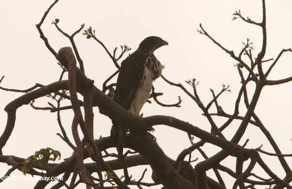 Augur buzzard -- tz_1966