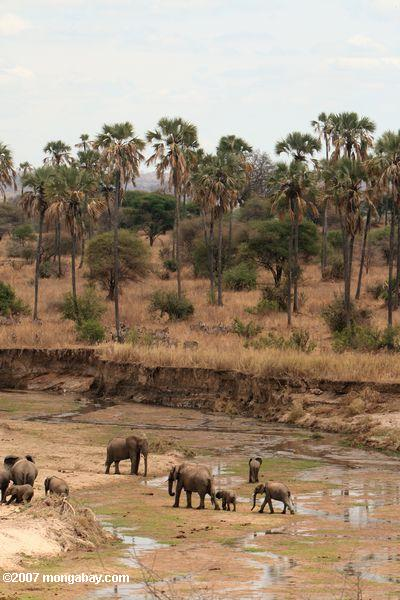 Elephants crossing a river bed