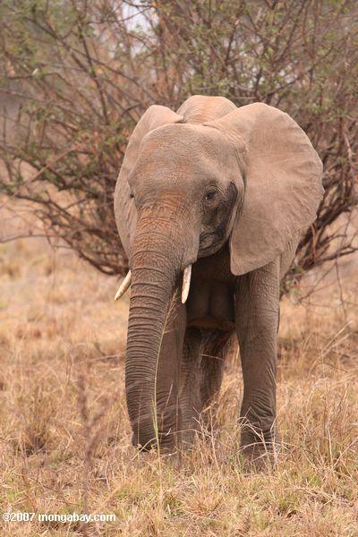 African elephant -- tz_2083