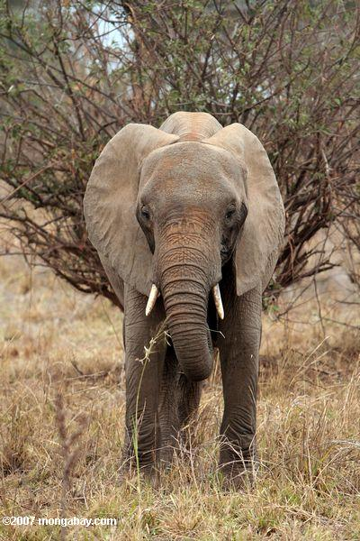 Elephant in Tanzania. Photo by: Rhett A. Butler.