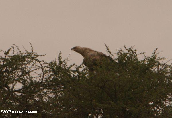 Black-chested Snake eagle (Circaetus pectoralis) -- tz_2116