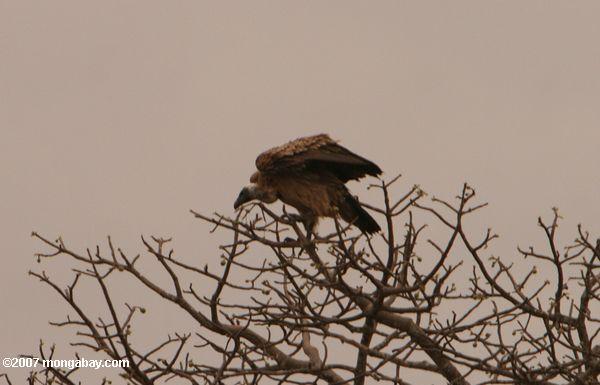 White-backed Vulture (Gyps africanus) -- tz_2133