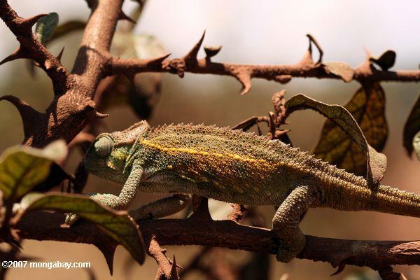 Chamaeleo sternfeldi chameleon -- tz_2154