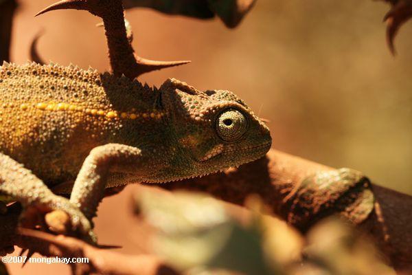 Trioceros sternfeldi chameleon