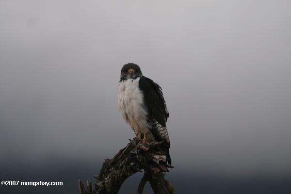 Augur buzzard -- tz_2201
